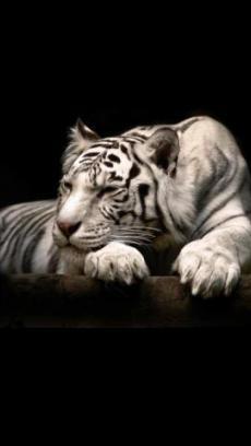 狮子和老虎壁纸v1.7_主题壁纸