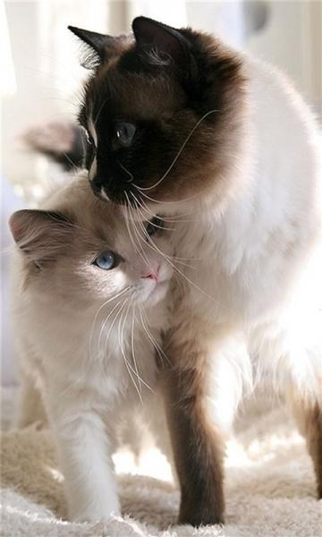 可爱萌宠猫咪动态壁纸 v1.0